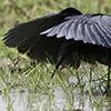 Egret, Black