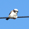 Shrike, white crowned