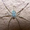 Spider, Long-spinnered