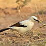Babbler, Southern Pied