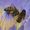 Bee, social