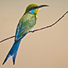 Bee eater, Swallow-tailed