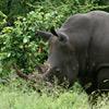 Rhino, Black