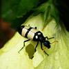 Beetle, Blister