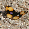 Butterfly, yellow pansy