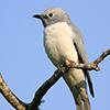 Cuckooshrike, White-breasted