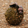 Beetle, Dung