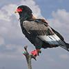 Eagle, Bataleur