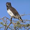 Eagle, Black-breasted Snake