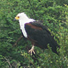 Eagle, African Fish