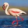 Flamingo, Lessser