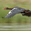Goose, Spur-winged