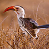 Hornbill, African Red-billed