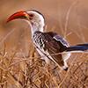 Hornbill, African Red-billed