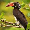 Hornbill, Crowned