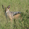 Jackal, black backed