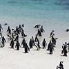 Penguin, Jackass