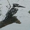 Kingfisher, Pied