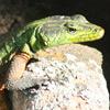 Lizard, Common flat