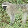 Monkey, Vervet