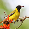 Oriole, Black-headed