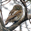 Owl, African Barred