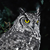 Owl, Spotted Eagle