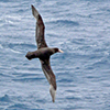 Petrel, Southern Giant