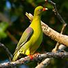 Pigeon, Green African