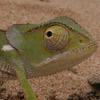 Chameleon, Cape Dwarf