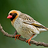 Quelea, Red-billed