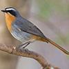 Robin, Cape