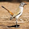 Robin, Kalahari