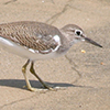 Sandpiper, Common