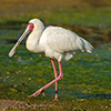 Spoonbill, African