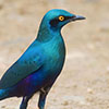 Starling, Greater, Glossy, Blue-eared