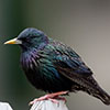Starling, European or Common