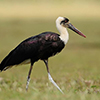 Stork, Wooly-necked