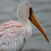 Stork, Yellow billed