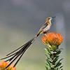 Sugarbird, Cape