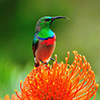 Sunbird, Lesser Double-collared