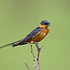 Swallow, Red-breasted