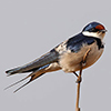 Swallow, White-throated