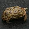 Tortoise, Spek's Hingeback