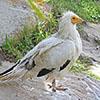 Vulture, Egyptian