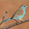 Waxbill, Blue