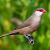 Waxbill, Common