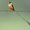 Whydah, Shaft-tailed