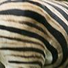 Zebra, Burchells